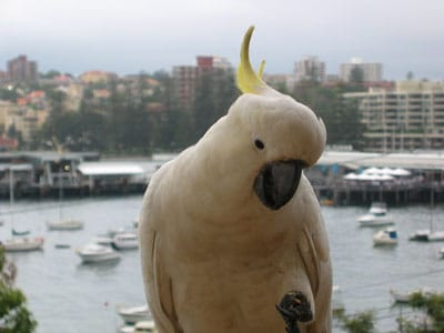 Another photo of a sulphur-crested Cockatoo 'Cacatua galerita'